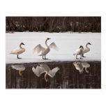 Trumpeter Swan Pairs Postcards