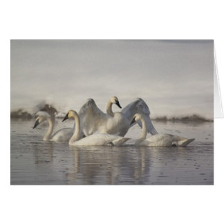 Trumpeter Swans in the Madison River in winter Card