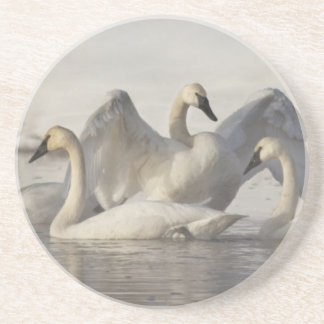 Trumpeter Swans in the Madison River in winter Coaster