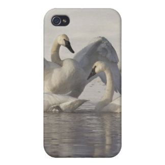 Trumpeter Swans in the Madison River in winter iPhone 4/4S Case