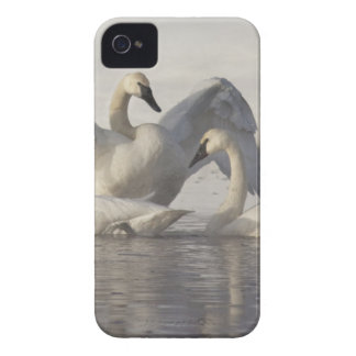 Trumpeter Swans in the Madison River in winter iPhone 4 Cover