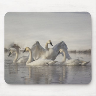 Trumpeter Swans in the Madison River in winter Mouse Mat