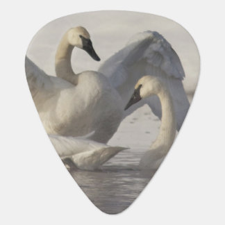 Trumpeter Swans in the Madison River in winter Plectrum