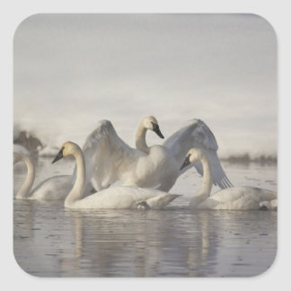 Trumpeter Swans in the Madison River in winter Square Sticker