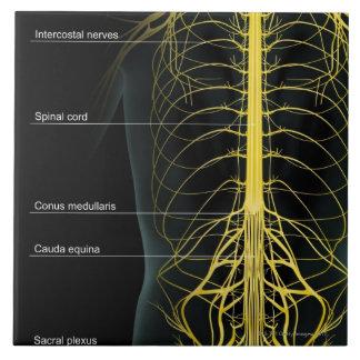 Trunk Nerve Supply Large Square Tile