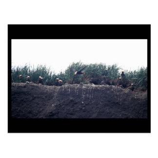 Tufted Puffin burrows Bogoslof Island Postcards