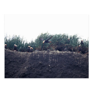 Tufted Puffin burrows Bogoslof Island Postcard