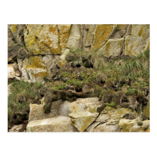 Tufted Puffin burrows, Castle Rock Postcard