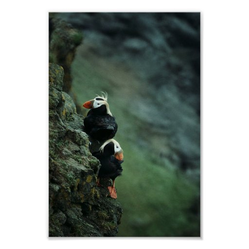 Tufted Puffin Pair Poster