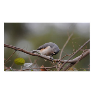 Tufted Titmouse Eating a Seed Pack Of Standard Business Cards