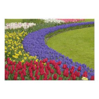 Tulip and Grape Hyacinth and daffodil garden, Photo Print