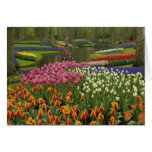 Tulip and hyacinth garden, Keukenhof Gardens, Greeting Card