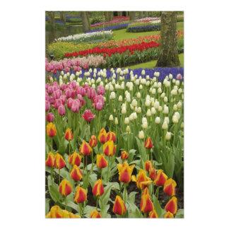 Tulip and hyacinth garden, Keukenhof Gardens, Photo Print