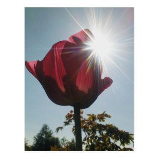 Tulip & Dazzling Sun Postcard