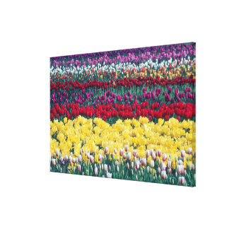 Tulip display garden in Skagit county, Canvas Print