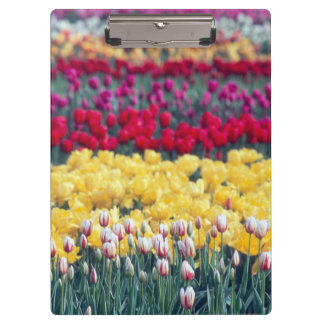 Tulip display garden in the Skagit valley, Clipboard