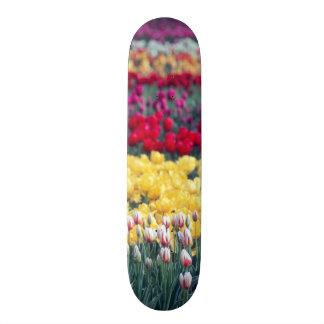 Tulip display garden in the Skagit valley, Skateboard