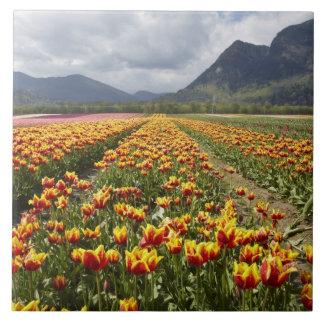 Tulip Farm near Agassiz, British Columbia, Large Square Tile