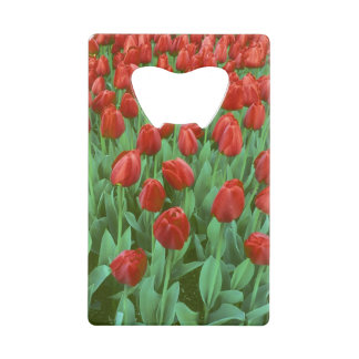 Tulip field blooms in the spring.