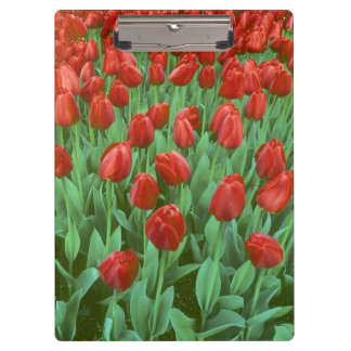 Tulip field blooms in the spring. clipboard