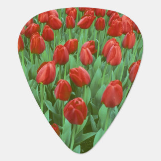 Tulip field blooms in the spring. guitar pick