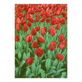 Tulip field blooms in the spring. photographic print