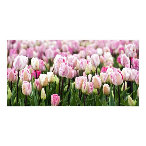 tulip field picture card