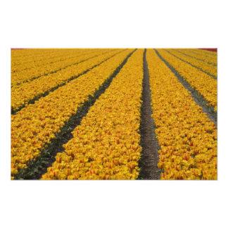 Tulip field, The Netherlands Photo Print