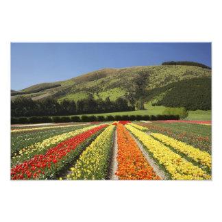 Tulip Fields, near Tapanui, West Otago, South 2 Photo