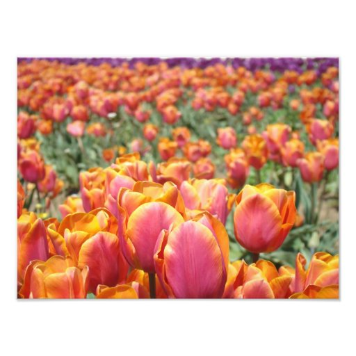 Tulip Flowers Photography art prints Tulips Floral Photographic Print