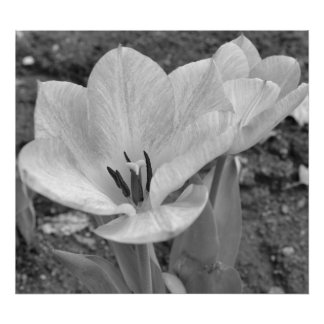 Tulip in black and white print