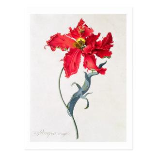 Tulip: Perroquet Rouge Postcard