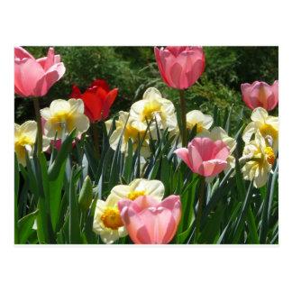 tulip,pink tulip and daffodil postcard