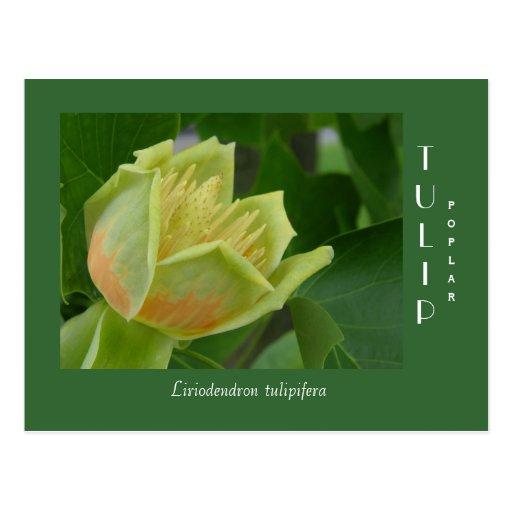 Tulip Poplar Flower Postcard