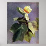 Tulip Tree Flower Poster