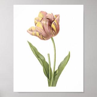 tulip(Tulipa culta) by Redouté Posters