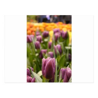 Tulip Zoom Postcard