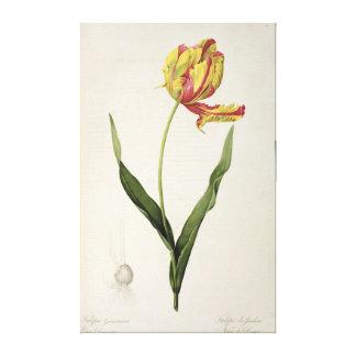 Tulipa gesneriana dracontia, from 'Les Canvas Print