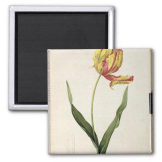 Tulipa gesneriana dracontia, from 'Les Magnet