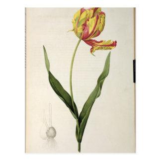 Tulipa gesneriana dracontia, from 'Les Postcard