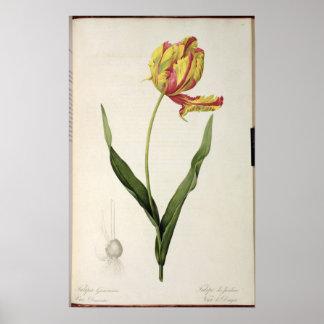 Tulipa gesneriana dracontia, from 'Les Poster