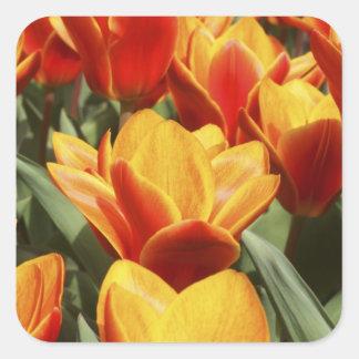 Tulips abound in Keukenhof Gardens, Holland. Square Sticker