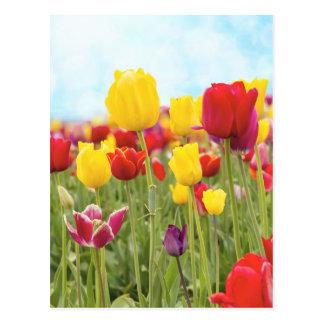 Tulips Blooming in Spring Postcard