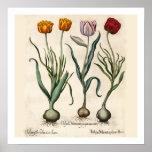 Tulips Botanical Print