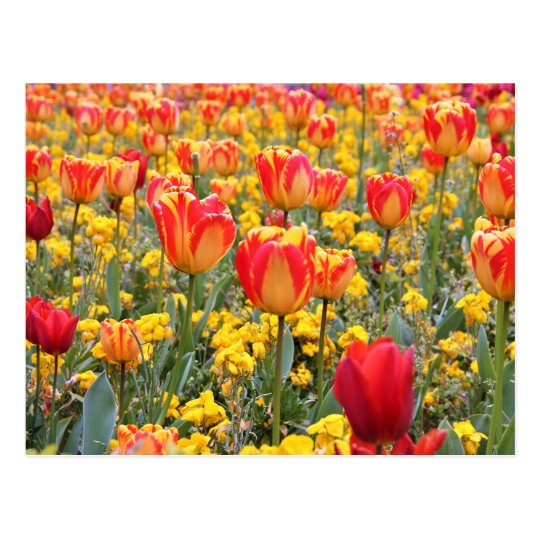 Tulips, Bright and colourful yellow and red Postcard