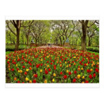 Tulips Central Park NYC Postcard