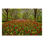 Tulips Central Park NYC Poster
