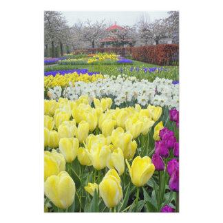 Tulips, daffodils, and Grape Hyacinth flowers, Photo Print