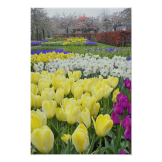 Tulips, daffodils, and Grape Hyacinth flowers, Poster