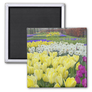 Tulips, daffodils, and Grape Hyacinth flowers, Square Magnet